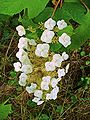 Hydrangea quercifolia 002.JPG