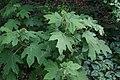 Hydrangea quercifolia Dayspring 0zz.jpg