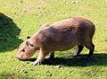 Hydrochoeris hydrochaeris Zoo Praha 2011-3.jpg