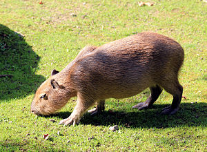 Fauna of Uruguay - Image: Hydrochoeris hydrochaeris Zoo Praha 2011 3
