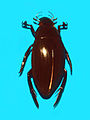 Hydrophilidae - Hydrophilus piceus.JPG