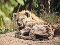 Hyena cub (20697678083).jpg
