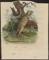 Hypsiprymnus murinus - 1839 - Print - Iconographia Zoologica - Special Collections University of Amsterdam - UBA01 IZ20300035.tif