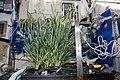 ISS-55 Dwarf Wheat samples, final growth.jpg