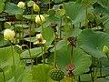 IUB Arboretum - lotus pond - P1100171.JPG