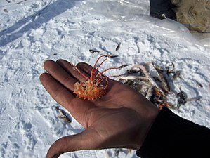 "Lake Baikal - A ""giant"" Acanthogammarus (Brachyuropus) reicherti amphipod caught during ice fishing in the lake"