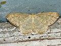 Idaea pallidata - Малая пяденица бледная (40263929004).jpg
