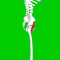 Iliacus muscle08.png