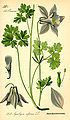 Illustration Aquilegia alpina0.jpg