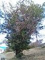 Image of the T. heterophylla tree (2). The tree is located on St. Thomas, USVI.jpg