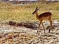 Impala in Chobe National Park.jpg