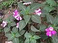 Impatiens gardeneriana hybrids-2-yercaud-salem-India.JPG