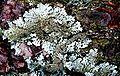 Imshaugia aleurites-8.jpg