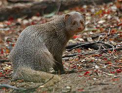 Indian Mongoose (Herpestes edwardsii)- is it- at Hyderabad, AP W 106.jpg