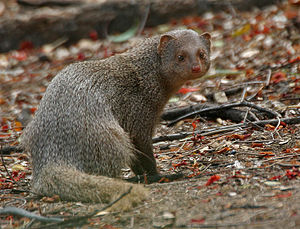 Indian grey mongoose - Image: Indian Mongoose (Herpestes edwardsii) is it at Hyderabad, AP W 106