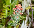 Indian Paintbrush Castilleja indivisa - Flickr - gailhampshire.jpg