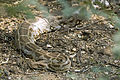 Indian python Python molurus (2154443051).jpg