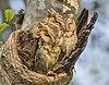 Indian scops owls (Otus bakkamoena) male on right.jpg
