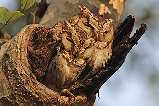Indian scops owls (Otus bakkamoena) male on right.jpg