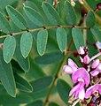 Indigofera australis-young-flowers-cropped.jpg