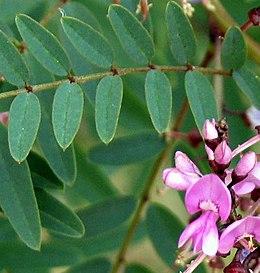 Indigofera australis-young-flowers-cropped