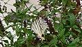 Iphiclides podalirius, suĉanta nektaron de floro de mento, fotita finsomere en la puatua marĉo..jpg