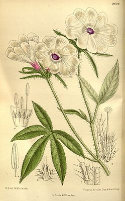 Ipomoea pes-tigridis, Illustration