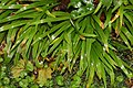 Iris cristata 6zz.jpg