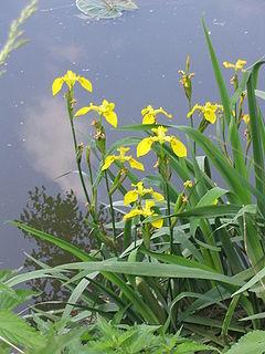 Цветки золотисто-желтые с коричневыми штрихами, цветут в мае-июне.  Ирис болотный (касатик желтый) теплолюбив.