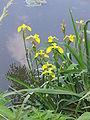 Iris pseudacorus 01.jpg