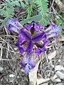Iris pumila sl2.jpg