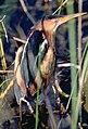 Ixobrychus exilis.jpg