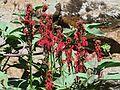 J20160810-0059—Lobelia cardinalis—RPBG (28900292935).jpg