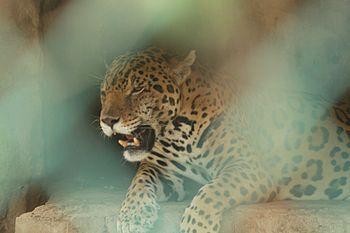 Jaguar indian2.jpg