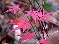 Japanese Maple (31272055306).jpg