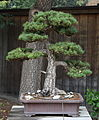 Japanese White Pine, GSBF-CN 124, September 12, 2008.jpg