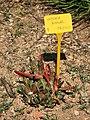Jardí Botànic de Barcelona (26922692603).jpg