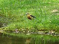 Javan pond heron in Ayutthaya.jpg