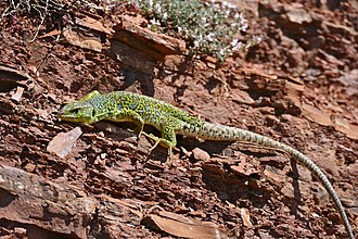Ocellated lizard - Timon lepidus, female