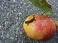 Junger Molch auf Apfel.jpg