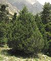Juniperus foetidissima, Aladağlar Mountains 1.jpg