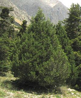 <i>Juniperus foetidissima</i> species of plant
