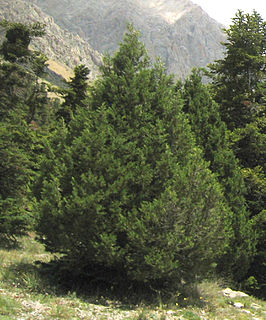 <i>Juniperus foetidissima</i>