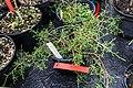 Juniperus gracilior CBN Brest 01.jpg