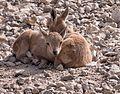 Juvenile Nubian ibex (50832).jpg