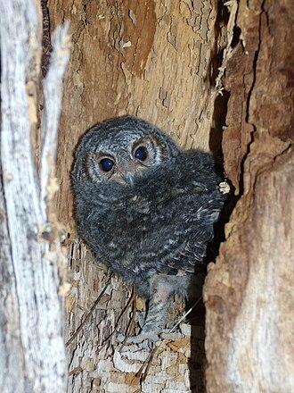 Flammulated owl - Juvenile flammulated owl, northern Arizona