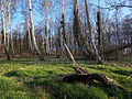 Küstenwald an der Stoltera.jpg