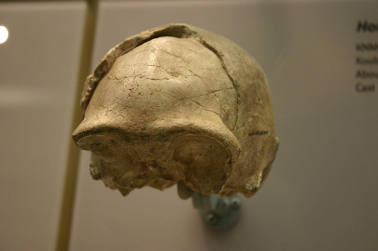 Homo E Soloensis Wikiwand