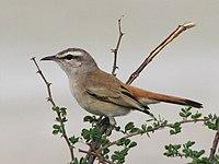 Kalahari Robin.jpg