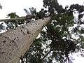 """Kauri """"Agathis australis"""".jpg"""